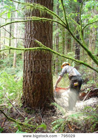 Logger Falling Large Tree