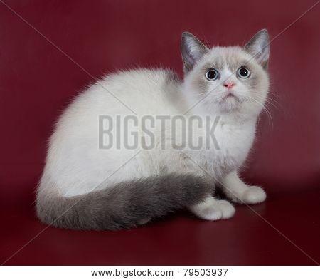 White And Gray Cat Scottish Fold Sitting On Burgundy