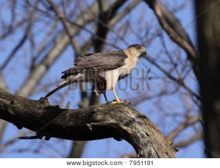 Upright Cooper's Hawk