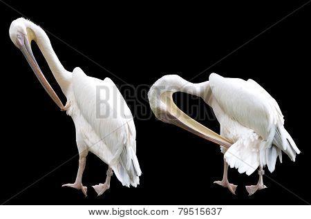Preening Pelicans Isolated on Black