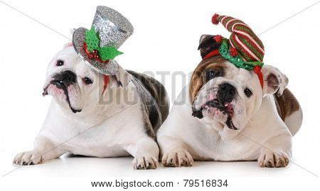 christmas dogs - two english bulldogs wearing cute headbands on white background