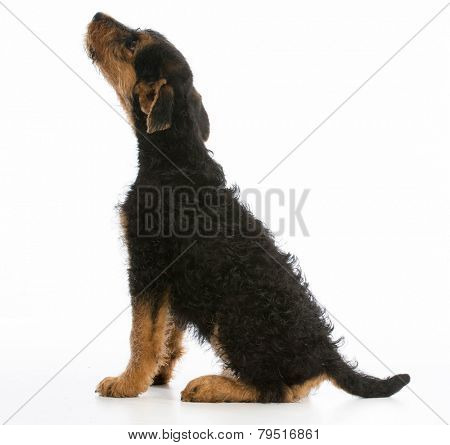 airedale terrier puppy looking up on white background