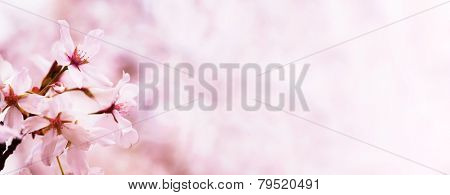 Spring cherry blossoms. Title header (horizontally wide) dimension image.