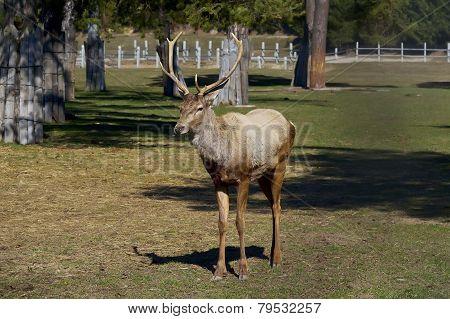 Adult Deer Stag In Summer Day