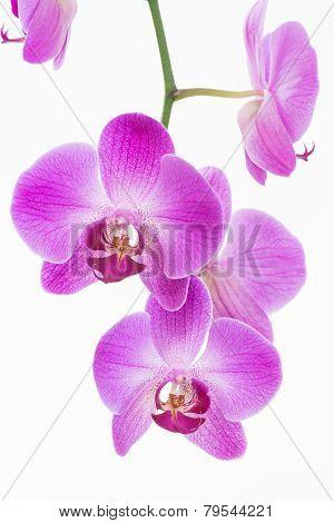 Purple Moth Orchids Close Up
