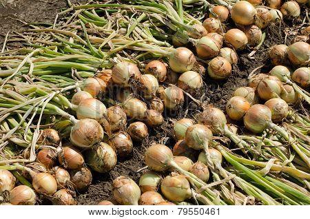 Onions harvest