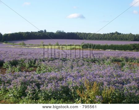 Borage Field