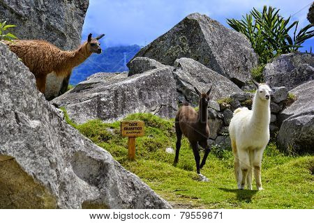Three llamas or alpacas