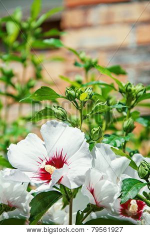 Beautiful White And Red Hibiscus Flowers