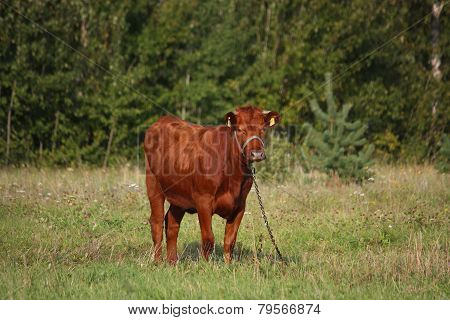 Brown Calf At The Pasture In Summer
