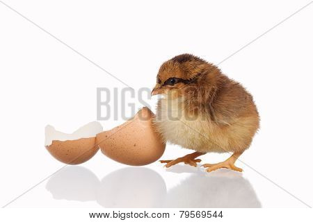Baby Chick With Eggshell