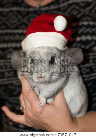 Chinchilla At Christmas