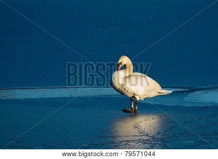 Swan In Last Sunlight On Frozen Lake
