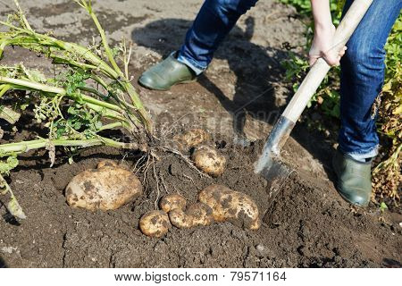 process of digging fresh organic potatoes vegetable in the field on soil