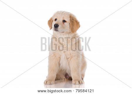 Golden Retriever Puppy Sitting