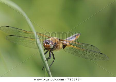 Broad-bodied Chaser Dragonfly - Libellula depressa