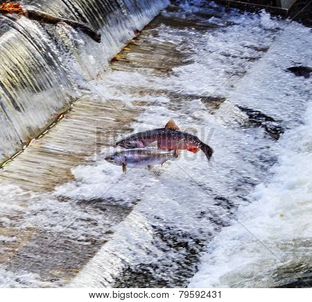 Chinook Coho Salmon Jumping Issaquah Hatchery Washington State