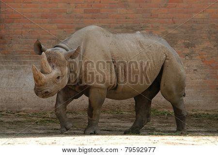 Black rhinoceros (Diceros bicornis).