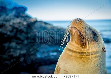 closeup portrait of sea lion's face galapagos islands
