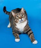 picture of blue tabby  - Tabby and white cat lying on blue background - JPG