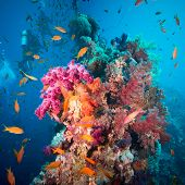 stock photo of sea fish  - A scuba diver swimming underwater with fishes in the Red Sea - JPG