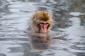 pic of hot-tub  - Japanese monkey soaking in a hot tub  - JPG