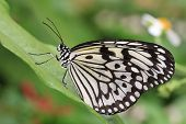 stock photo of butterfly  - Large Tree Nymphs butterfly and green leaf - JPG
