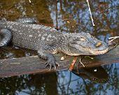 image of alligator  - Alligator sunning on log in St Augustine Florida - JPG