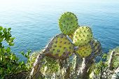 image of prickly-pear  - Colorful prickly pear cactus with sharp needles grows along the coastline of Laguna Beach - JPG