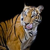 picture of sundarbans  - Closeup Tiger hungry black background animal wildlife - JPG