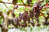 stock photo of grape  - fresh Grape wait for harvest Grape Farm Tak  - JPG