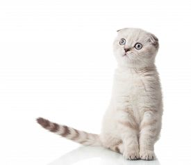 foto of scottish-fold  - Scottish Fold breed of cat in full growth isolated on a white background - JPG