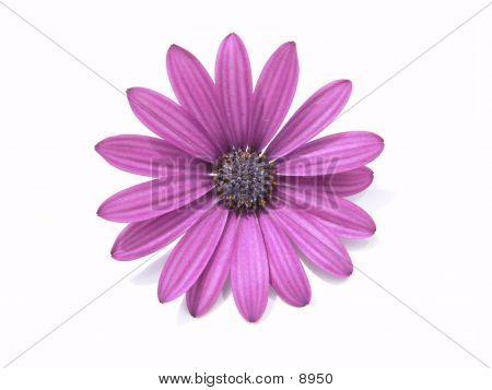 Blättchen lila