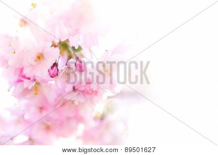 Buds Of Pink Cherry Flowers