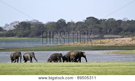 Asian Elephant In Minneriya, Sri Lanka