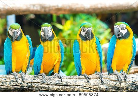 Blue Macaws Sitting On Log With Black Background.
