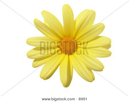 Flowerhead Yellow