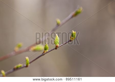 Branches Of A Birch