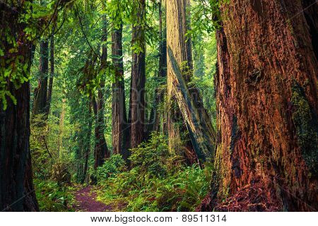 California Redwood Trail