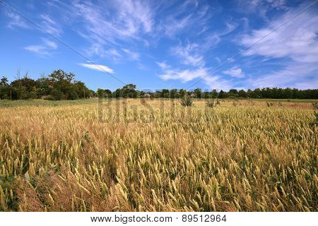 Wheaten Field And Sky