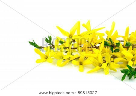 Flower Forsythia And Green Leaves