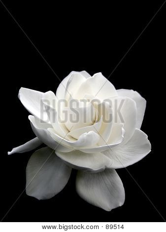 Flower - White Wedding Gardenia