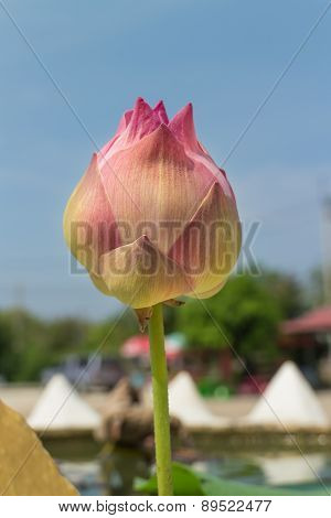 pink lotus bud with the leaf