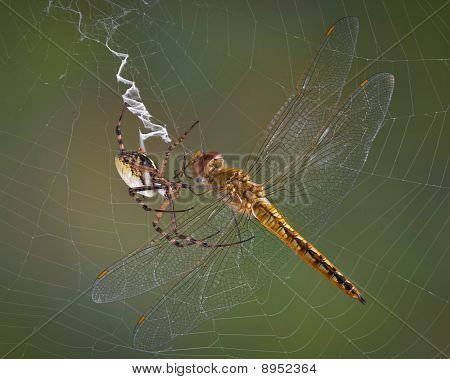 Spider With Dragonfly
