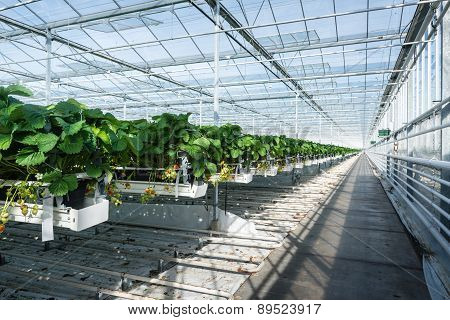 Hydroponic Strawberry Cultivation In A Large Glasshouse