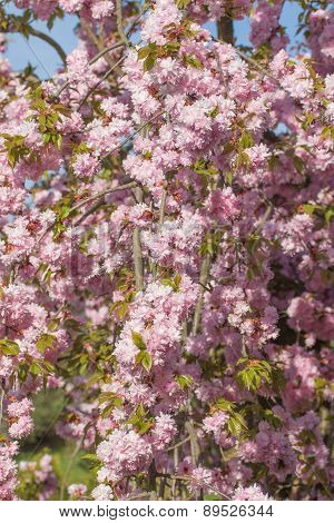 The Overhanging Sakura Tree Branches
