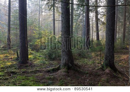 Sunbeam Entering Rich Coniferous Forest