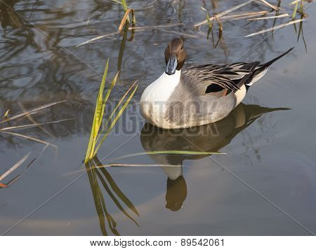 Beautiful Duck Reflected In The Lake