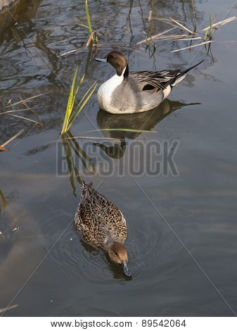 A Pair Of Ducks Swimming In The Pond