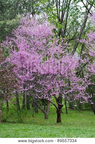 Blooming Pink Tree